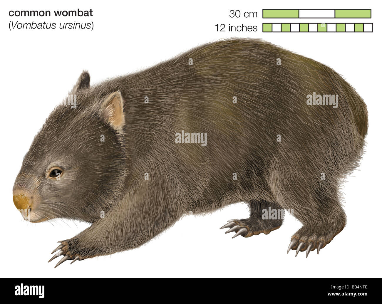 Wombat commun (Vombatus ursinus) Photo Stock