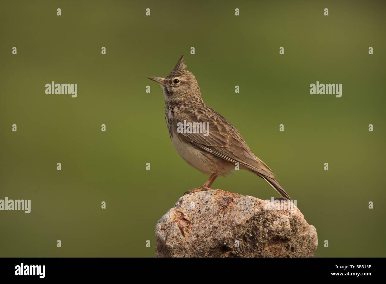 (Galerida cristata Crested Lark) perché sur un rocher, Lesbos, Grèce Photo Stock