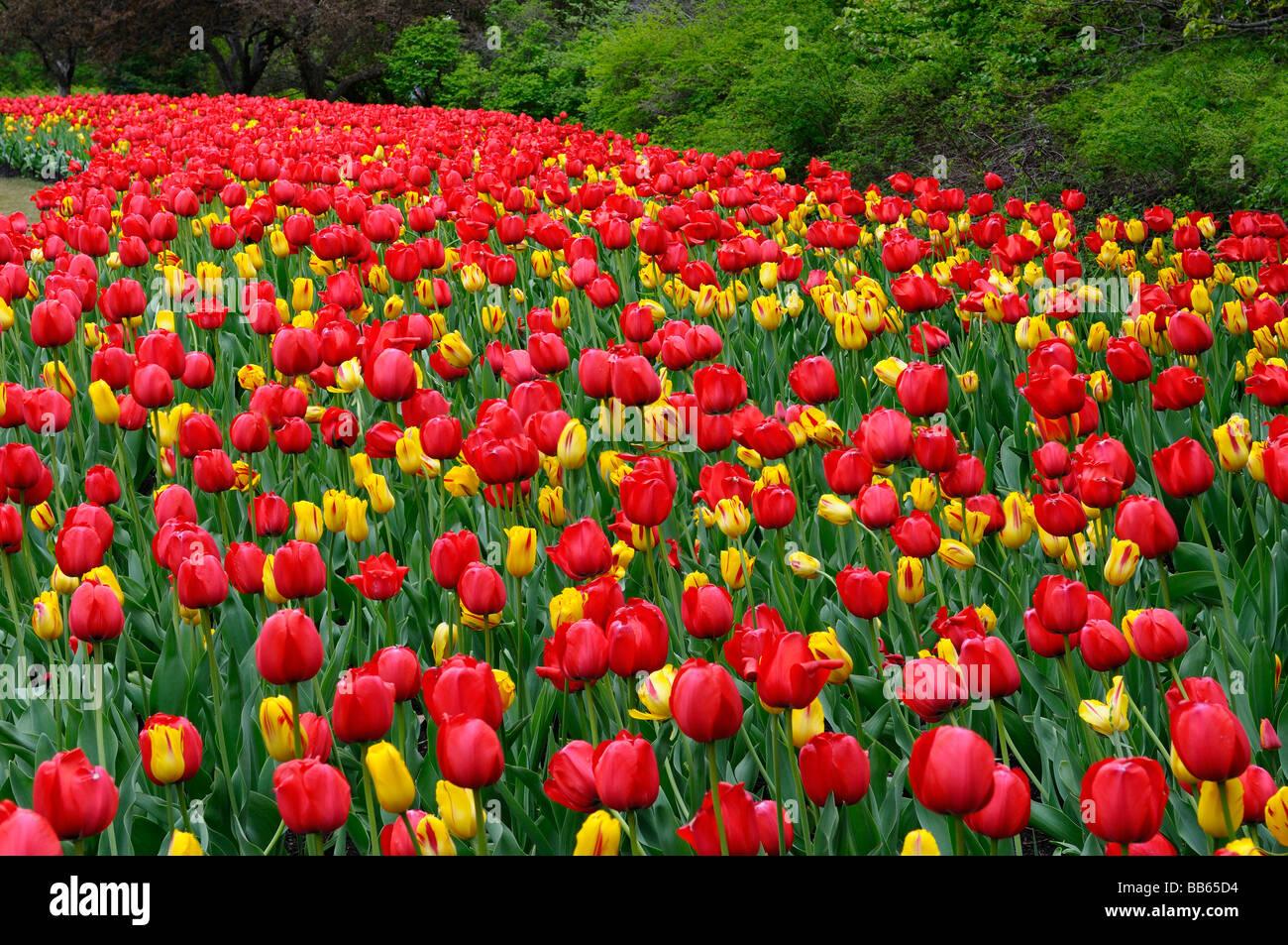Lit de jardin panoramique de l'impression rouge et jaune tulipes de Washington au festival des tulipes d'Ottawa Photo Stock