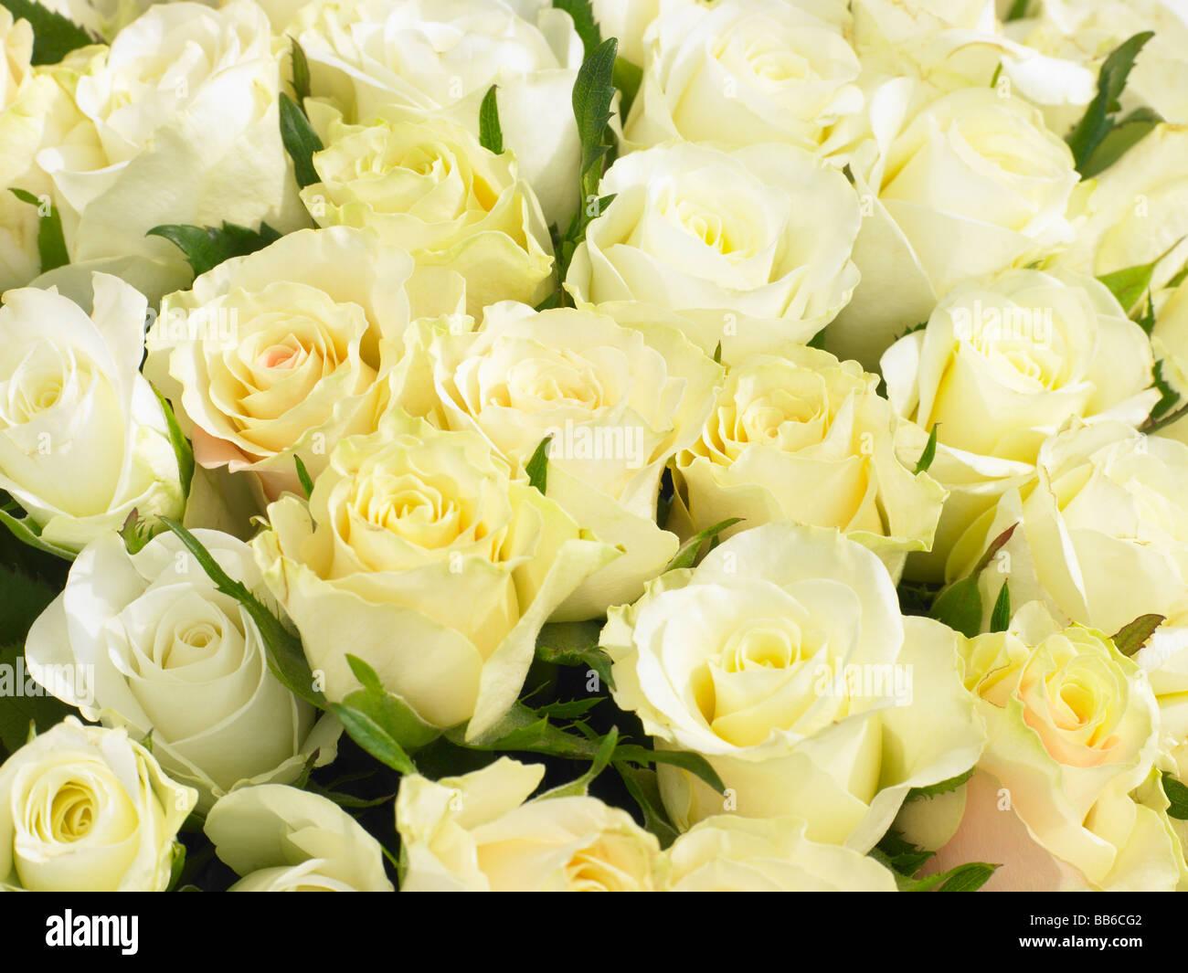Bouquet de roses Crème Photo Stock