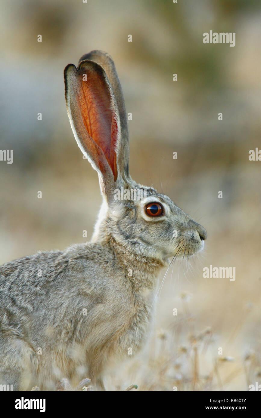 De longues oreilles de black-tailed jackrabbit lui permettent de rester au frais à chaud du désert. Le Photo Stock
