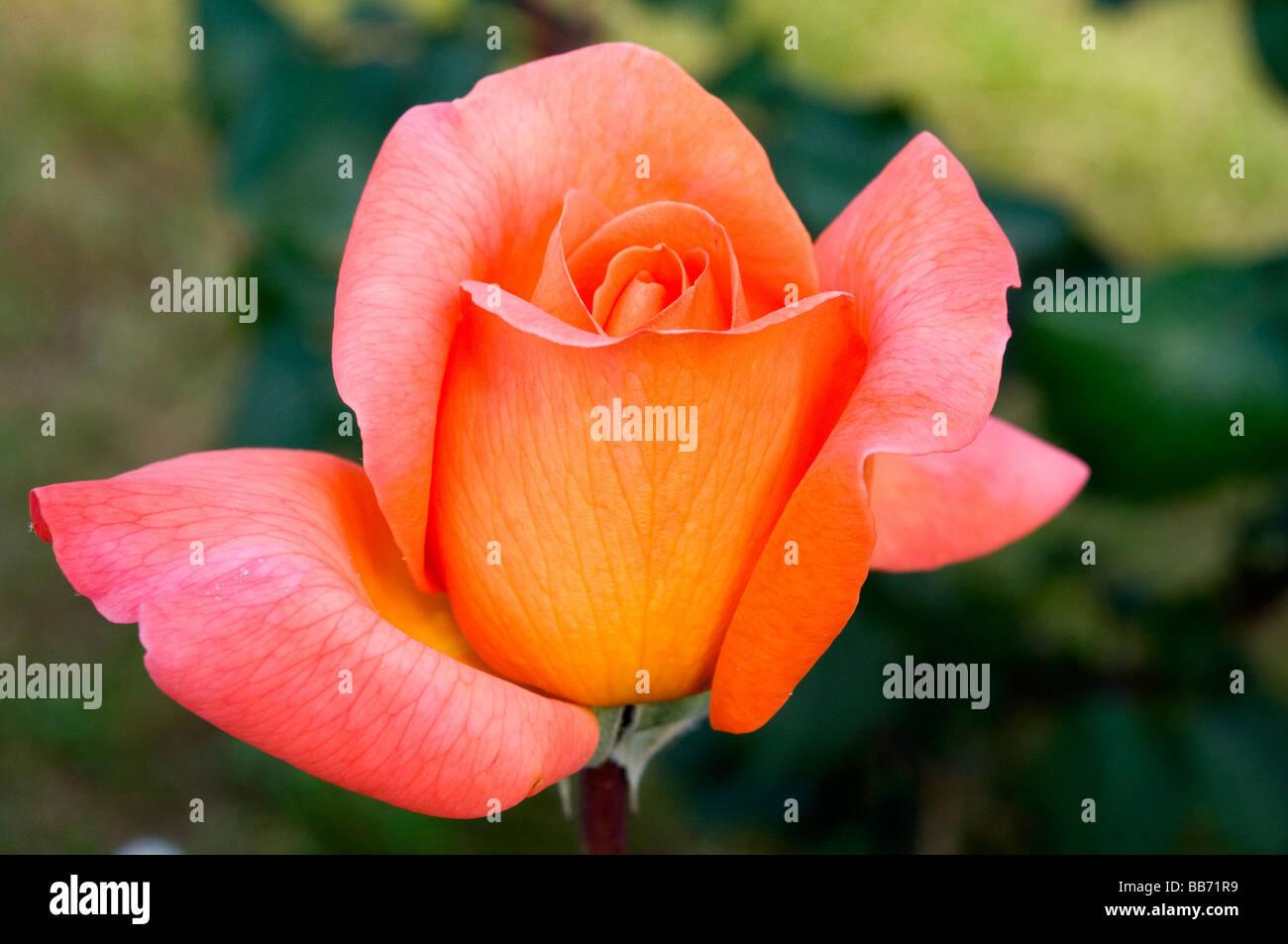 René Goscinny Rose Photo Stock
