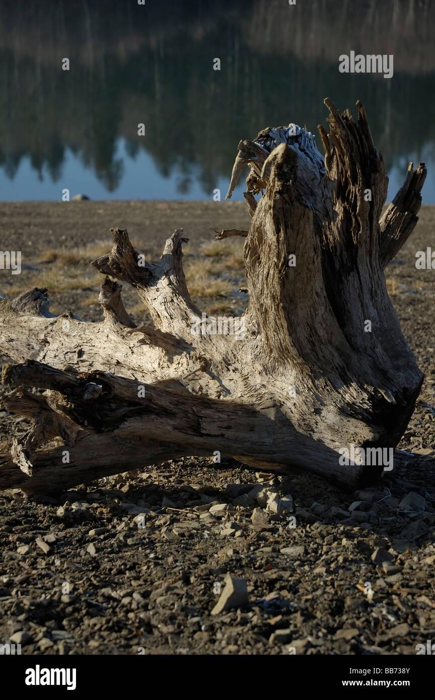 Arbre mort sur les rives du lac Photo Stock