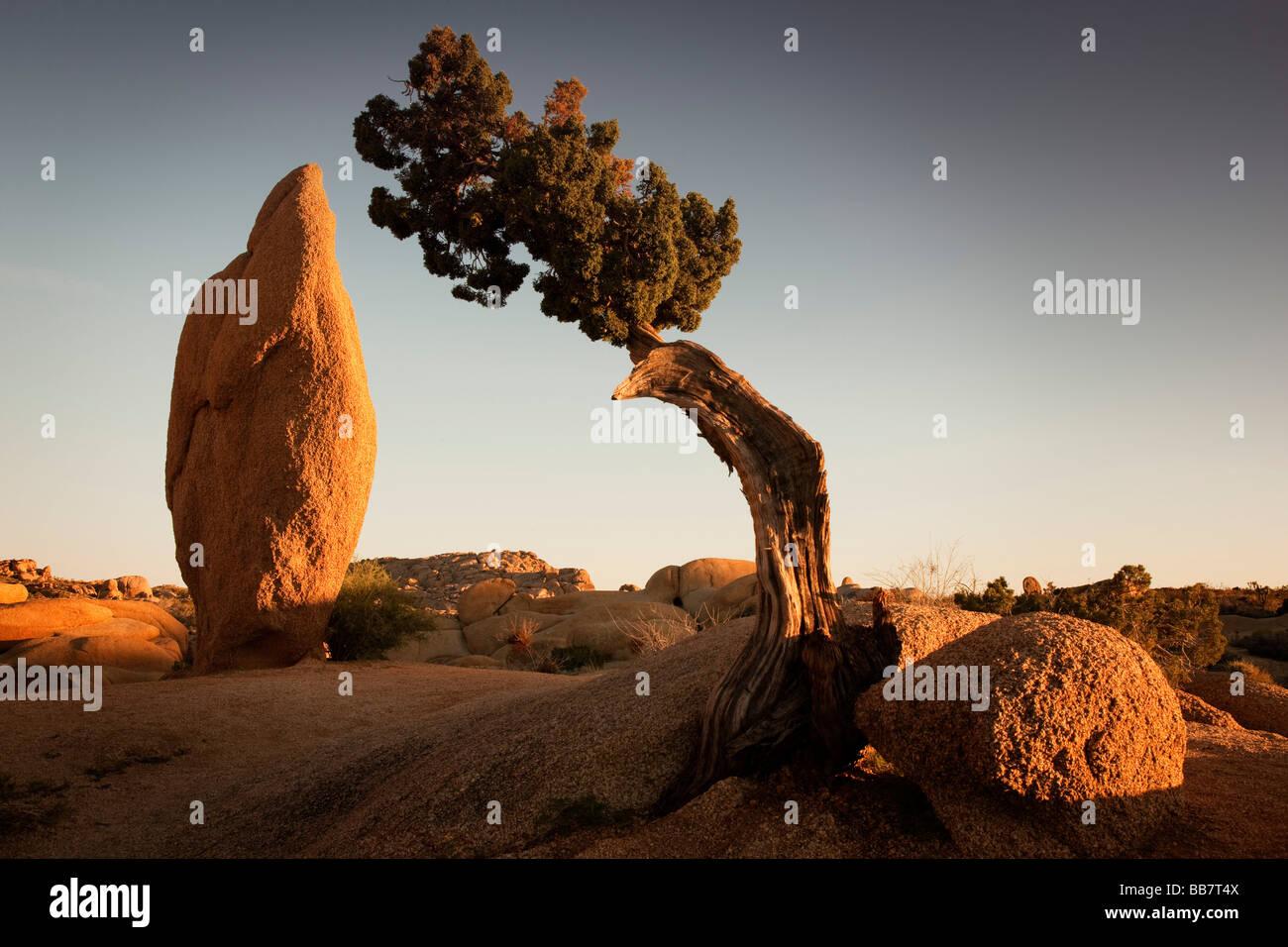 Arbre généalogique de Juniper et coniques à roche roches Jumbo dans Joshua Tree National Park California USA Banque D'Images