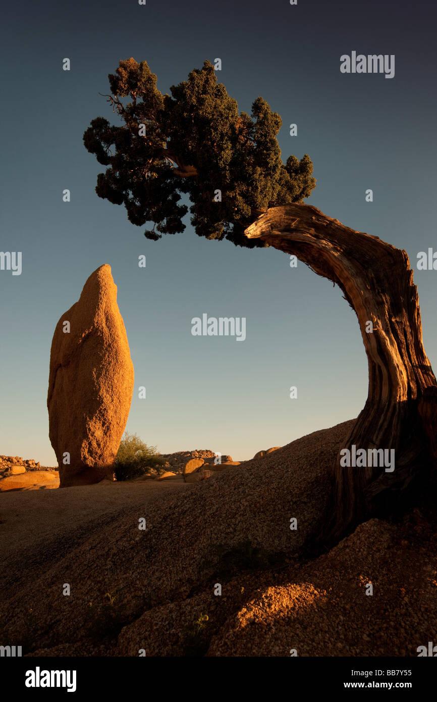 Arbre généalogique de Juniper et coniques à roche roches Jumbo à Joshue Tree National Park California USA Banque D'Images