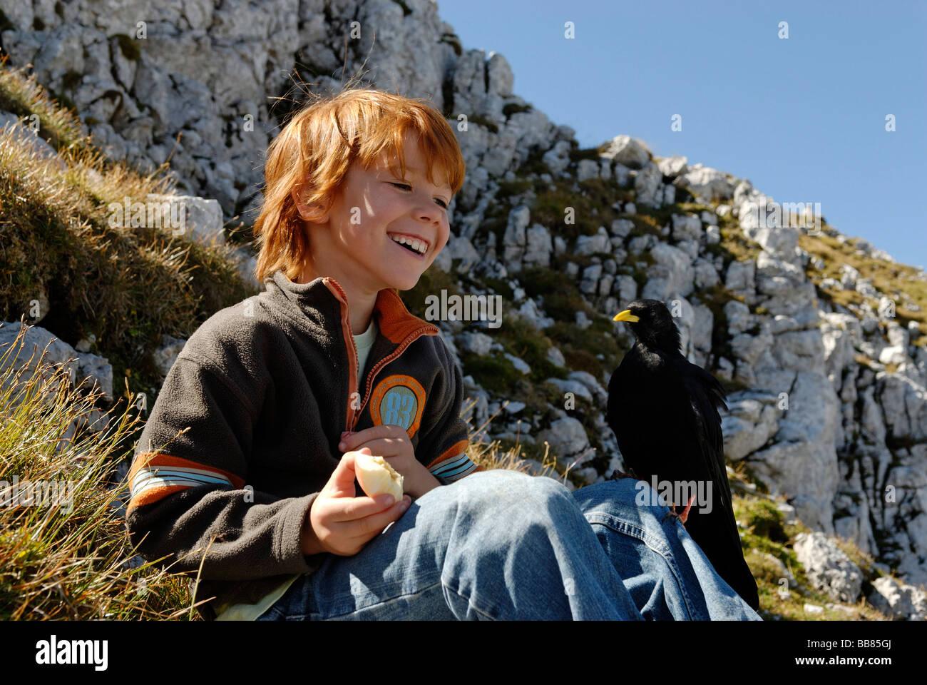 Alpine Chough mendiant effronté de l'alimentation, de l'enfant Parc Naturel des Karwendel, sur le sommet Photo Stock