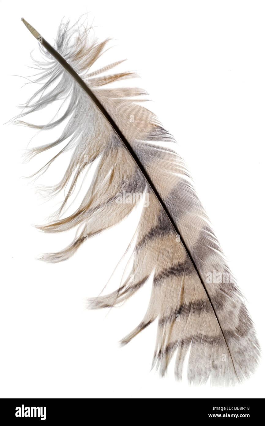 Une plume d'oiseau sur fond blanc Photo Stock