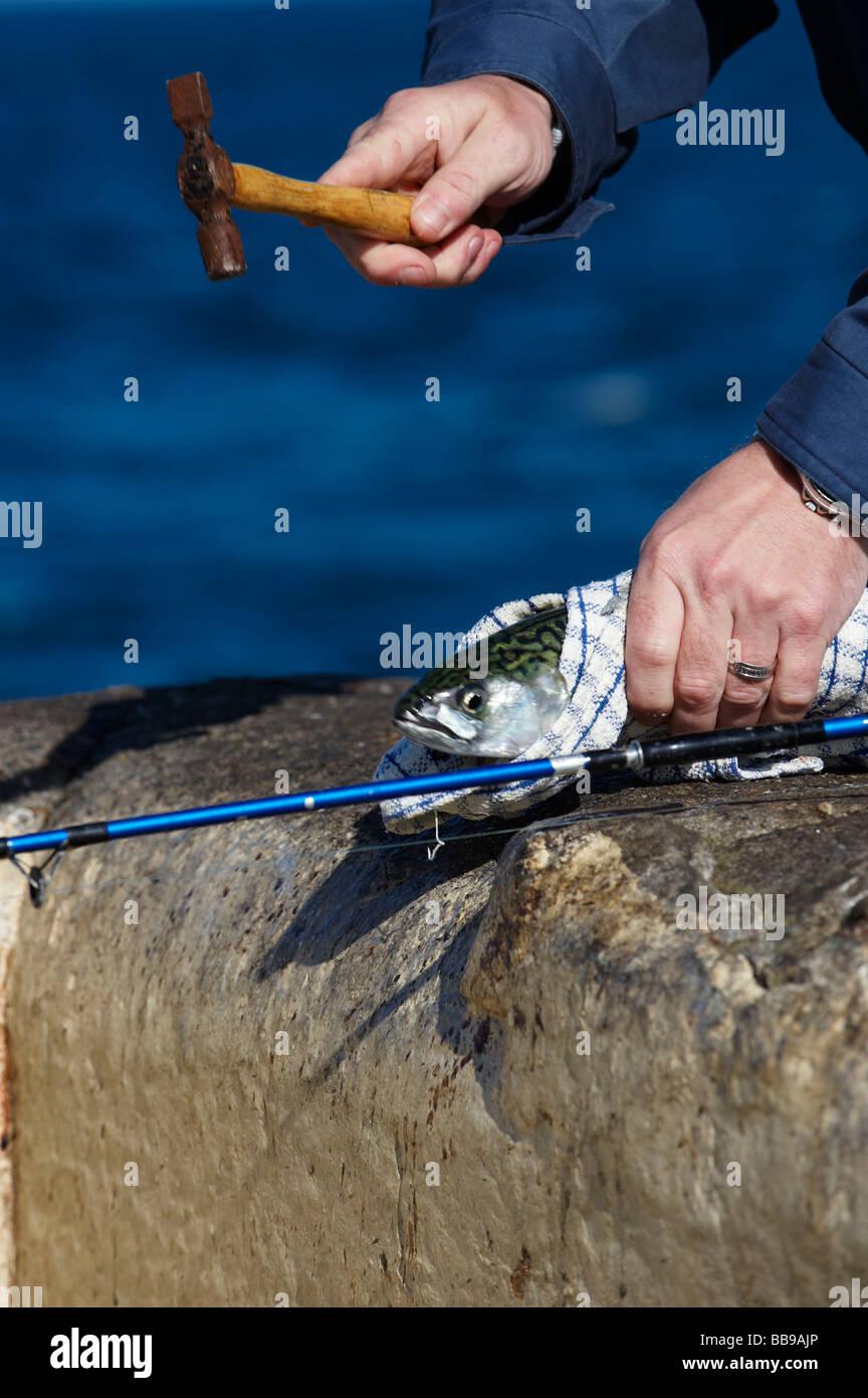 Un poisson maquereau sur le point d'être tué avec un marteau, Peel, Ile de Man Photo Stock