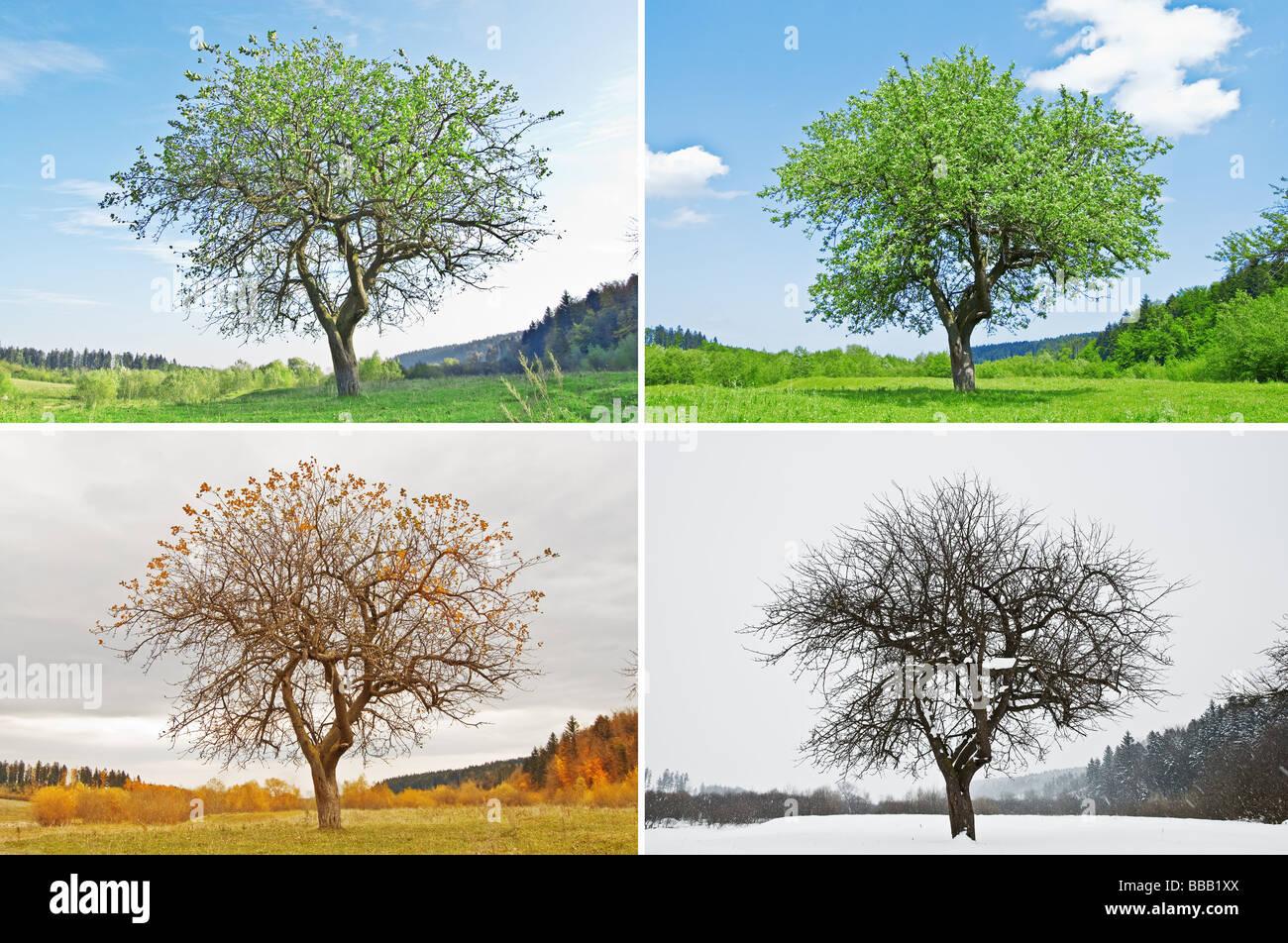 Arbre quatre saisons Photo Stock
