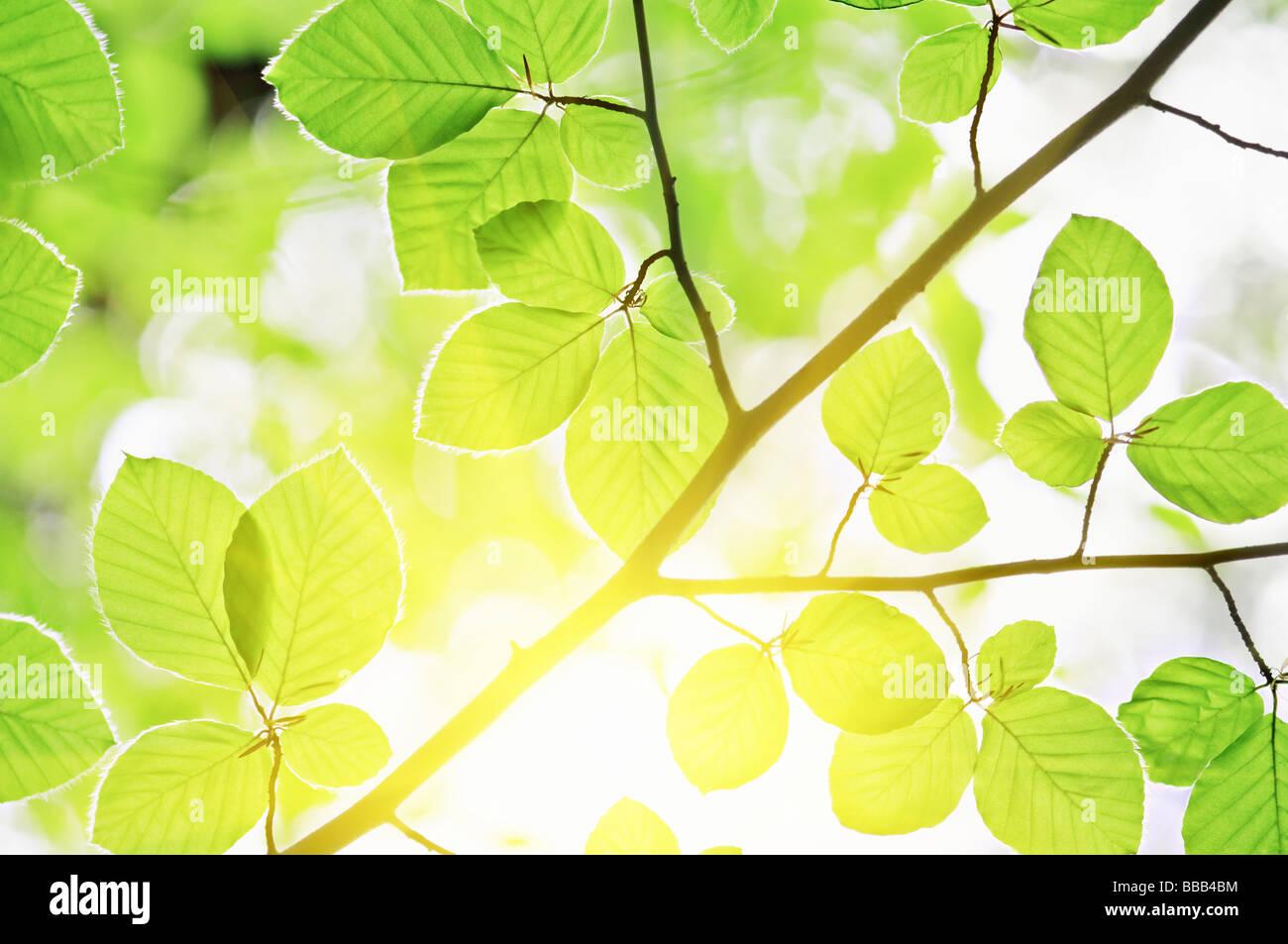 Feuilles de hêtre et la lumière du soleil Photo Stock