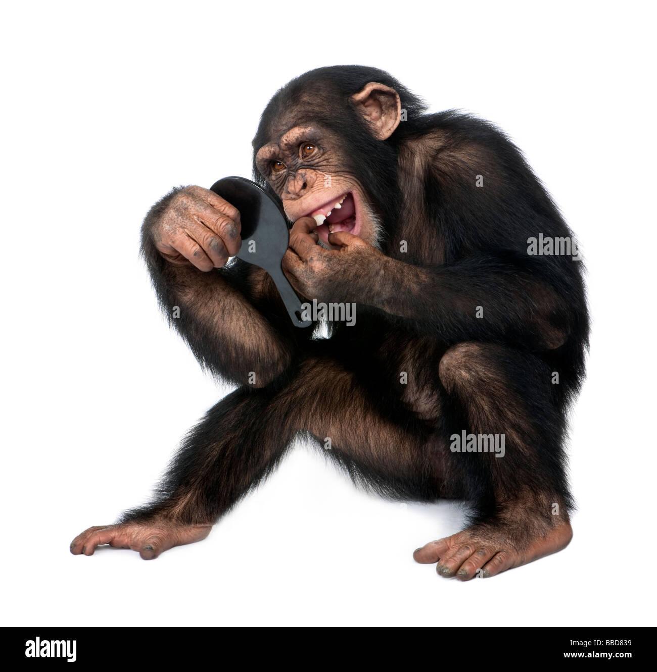 Jeune chimpanzé regarde ses dents dans un miroir en face d'un fond blanc Photo Stock
