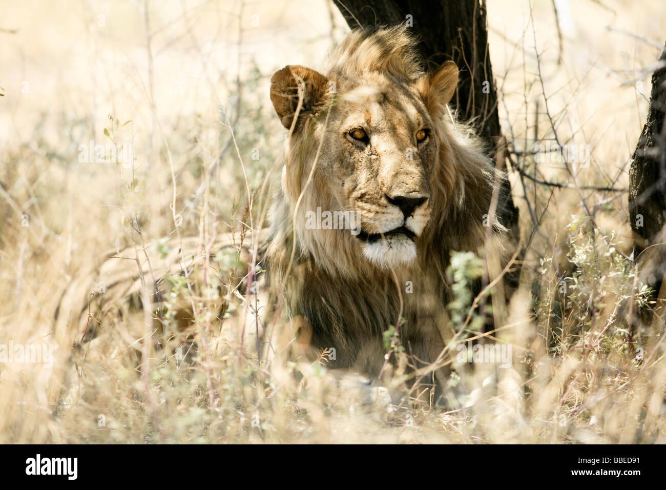 Lion en herbe, Etosha National Park, Namibie, région de Kunene Banque D'Images