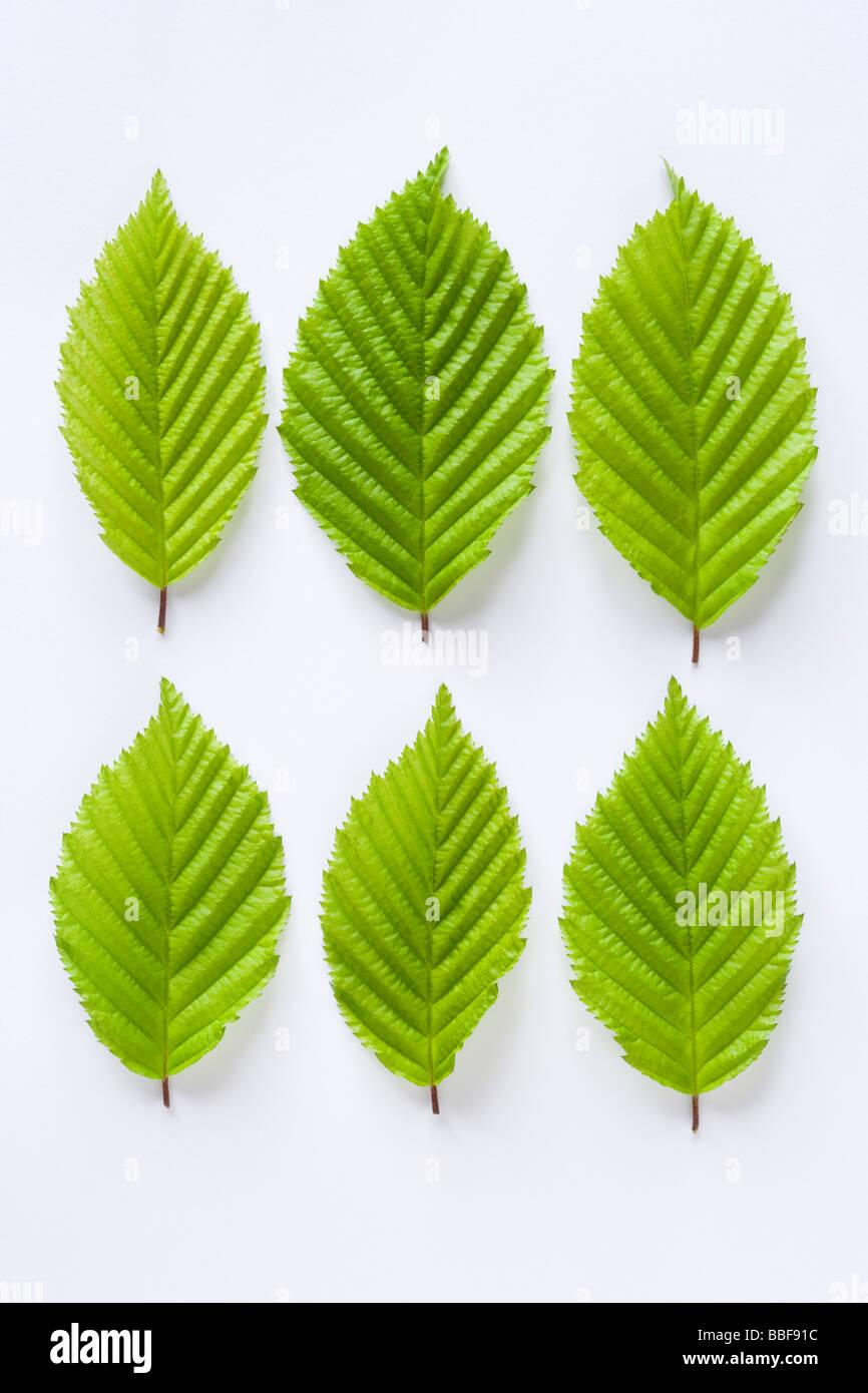 Les feuilles des arbres charme, Carpinus betulus. Photo Stock