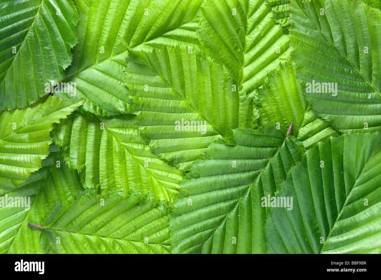 Configuration des lames. Les feuilles de charme, Carpinus betulus. Photo Stock