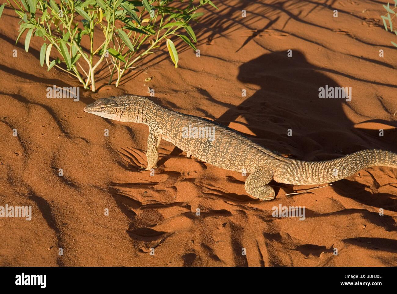 Le goanna sable ou Goulds Varanus gouldii moniteur sur une dune de sable rouge à la première lumière près d'Alice Banque D'Images