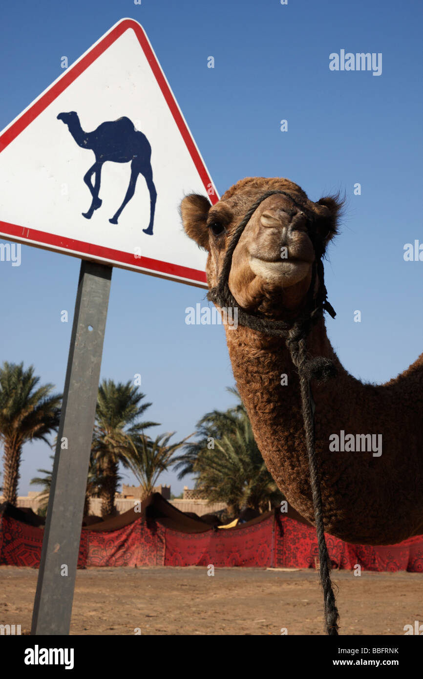 afrique-afrique-du-nord-maroc-sahara-merzouga-erg-chebbi-chameau-chameau-avec-panneau-bbfrnk