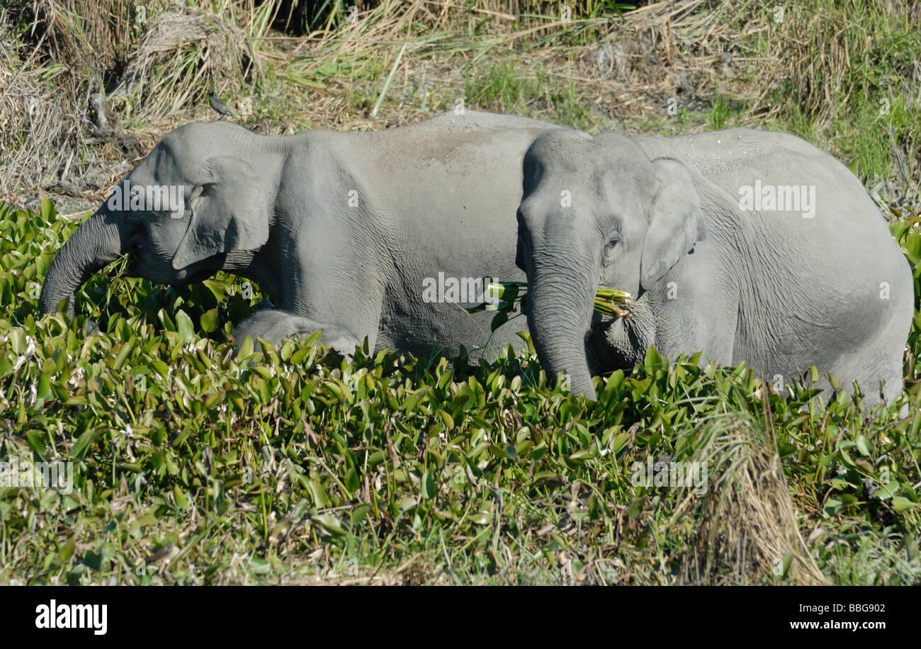 Les éléphants indiens sauvages (Elephas maximus indicus) manger des plantes de l'eau sur les bords Photo Stock