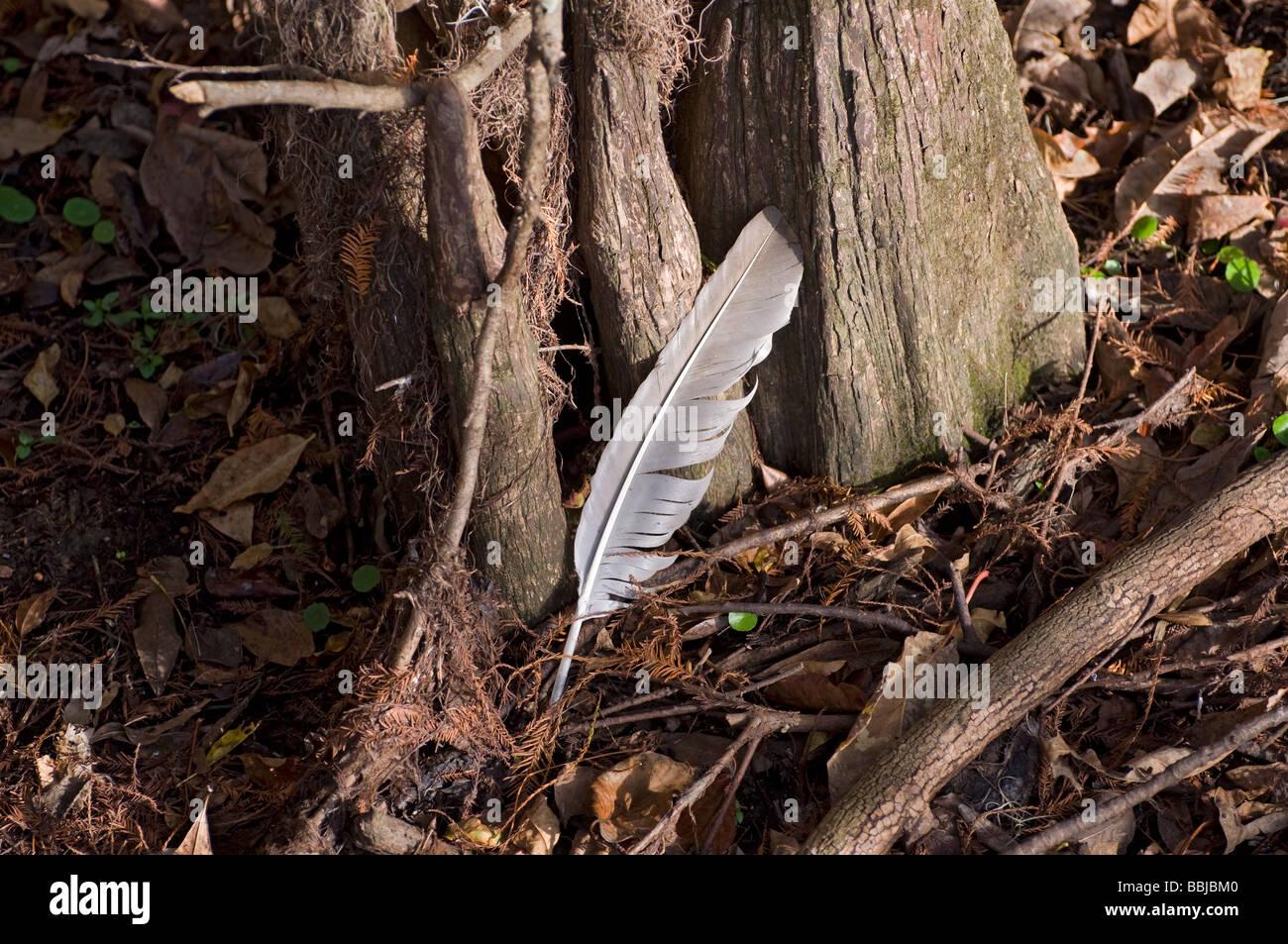 Plume d'oiseau parmi les cyprès les genoux à Manatee Springs State Park, le long de la rivière Photo Stock