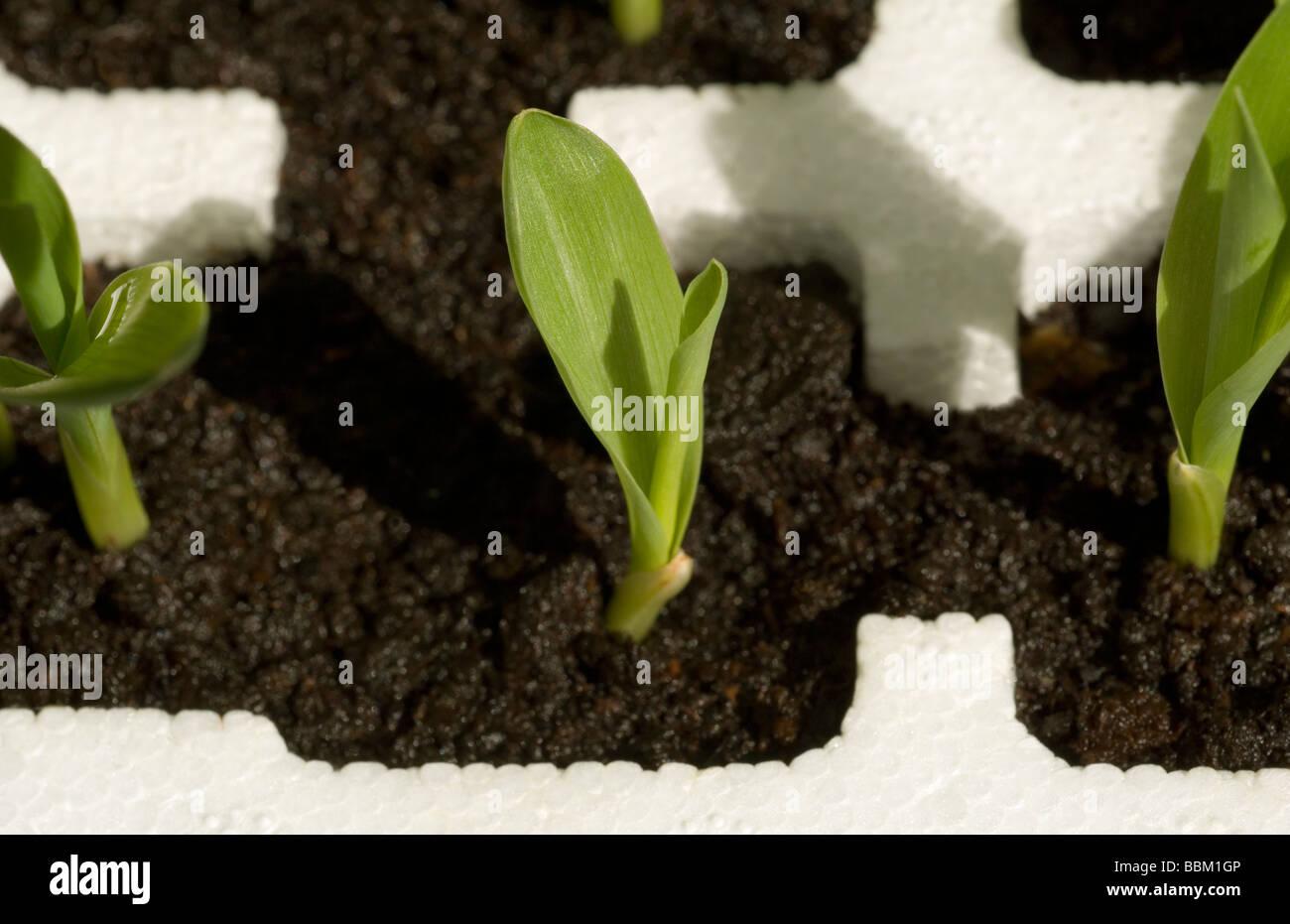 Les pousses vertes. SHOT de jeunes plantes de maïs. Photo Stock