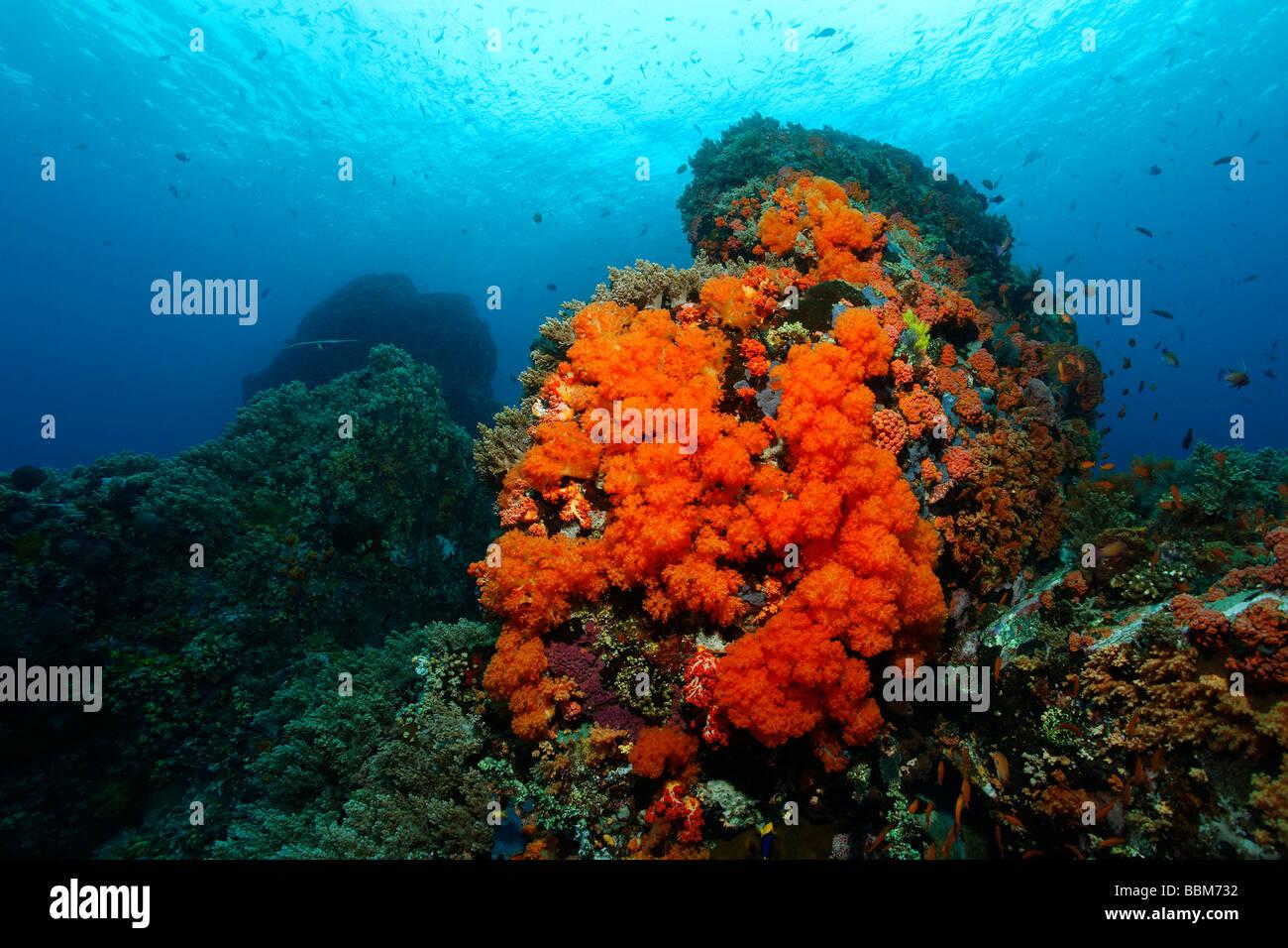 Paysages sous-marins avec bloc de corail avec de nombreux récifs coralliens à softcorals Nephtheidae (rouge) Photo Stock