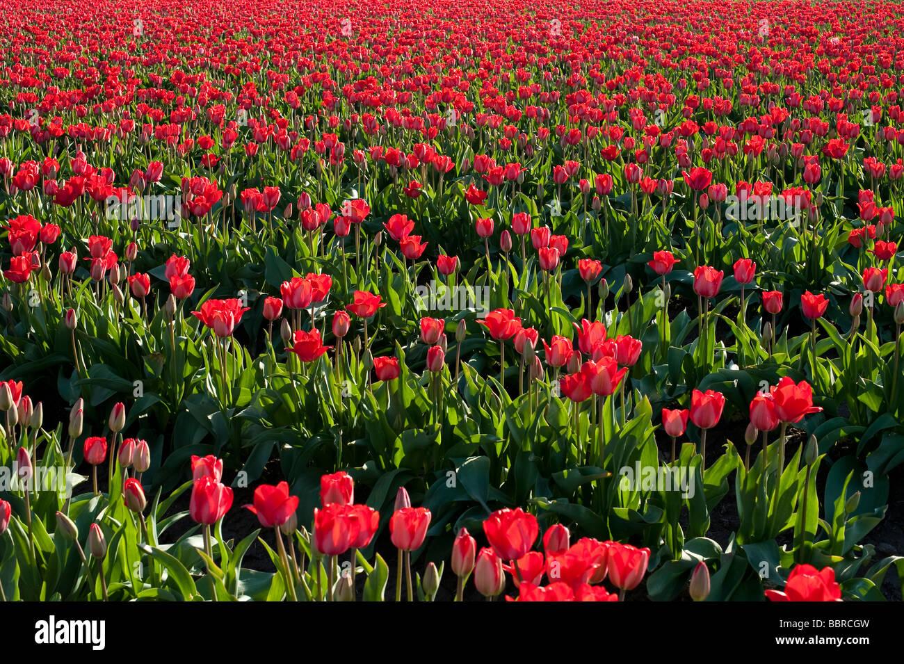 Champs de tulipes rouge coucher du soleil lumière près de Mount Vernon l'État de Washington, Photo Stock