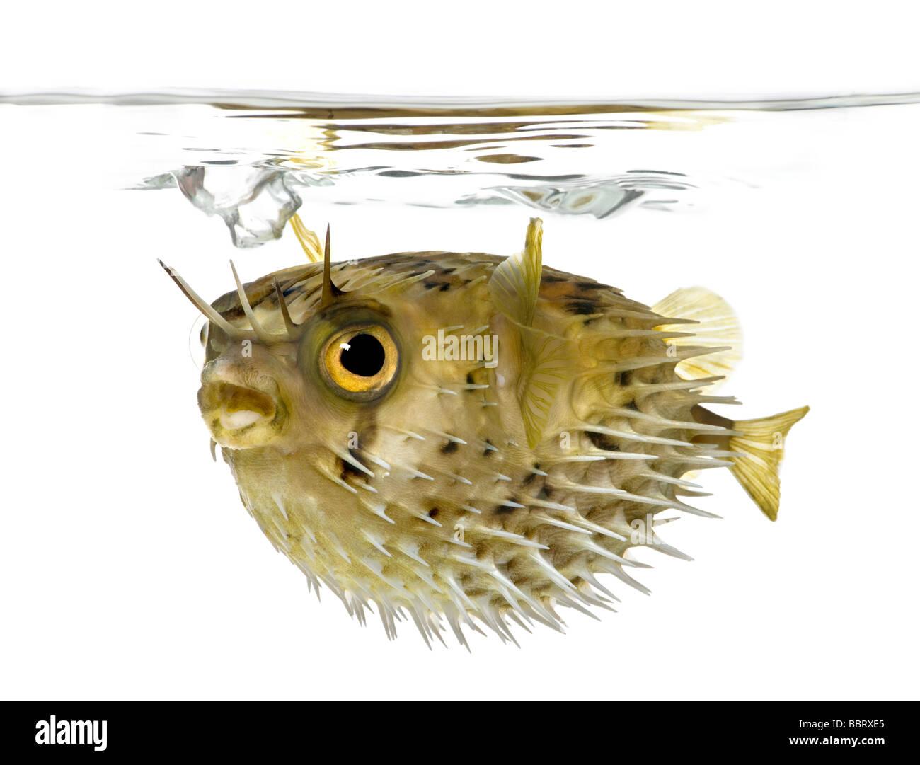 Dos Long porcs-épics savent aussi que l'balloonfish Diodon holocanthus devant un fond blanc Photo Stock
