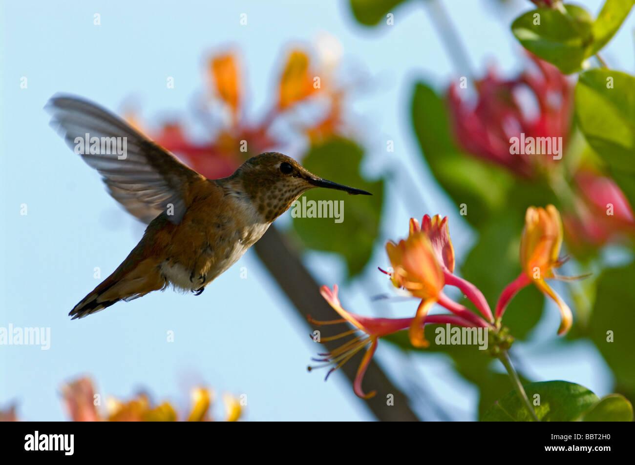 Humming Bird approchant honeysuckle flower Photo Stock