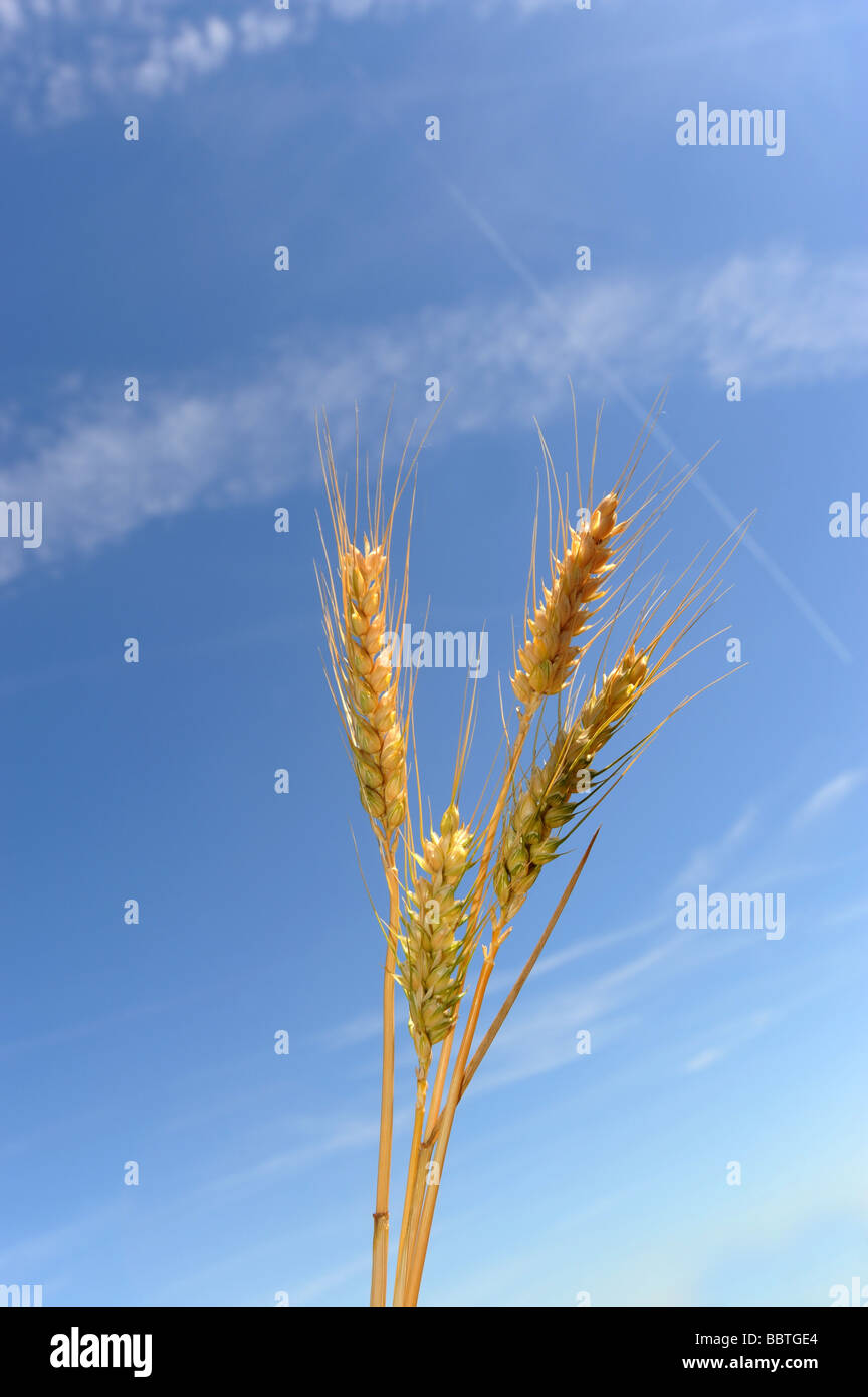 Les oreilles de la maturation de l'orge contre un ciel bleu Photo Stock