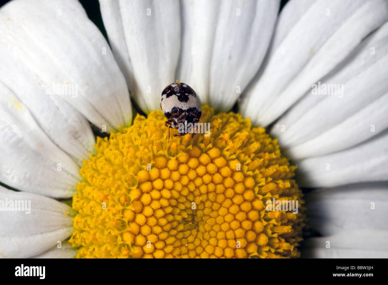 Insecte sur oxeye daisy Banque D'Images