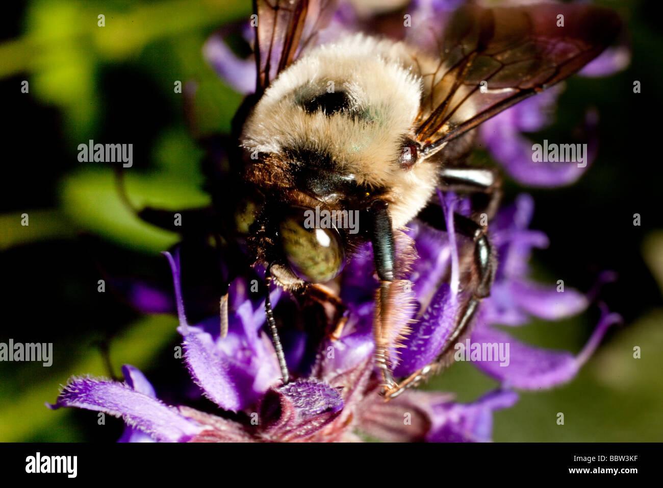 Bee gathering pollen sur silvia fleurs Banque D'Images
