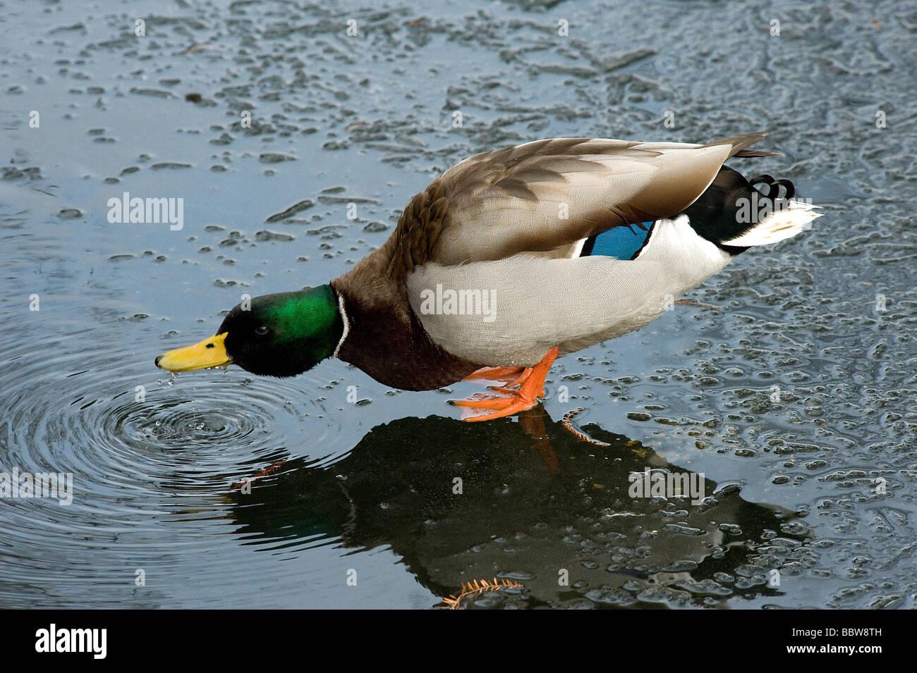 Canard colvert Anas platyrhynchos masculins des boissons de piscine dans la fonte des glaces sur le lac gelé Photo Stock