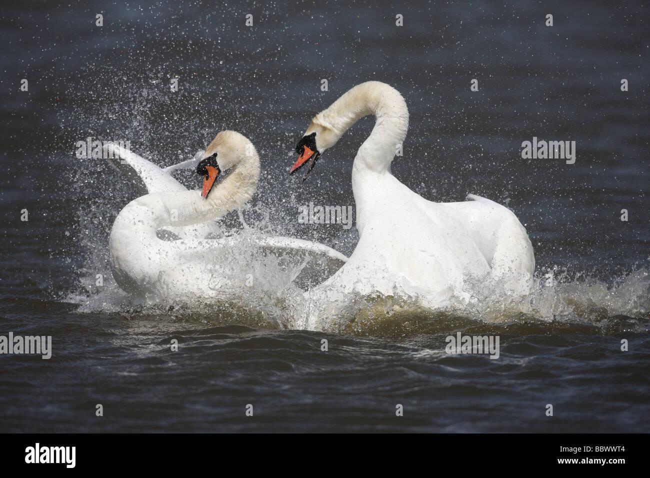 Cygne tuberculé Cygnus olor paire combats Abbotsbury Dorset printemps Banque D'Images