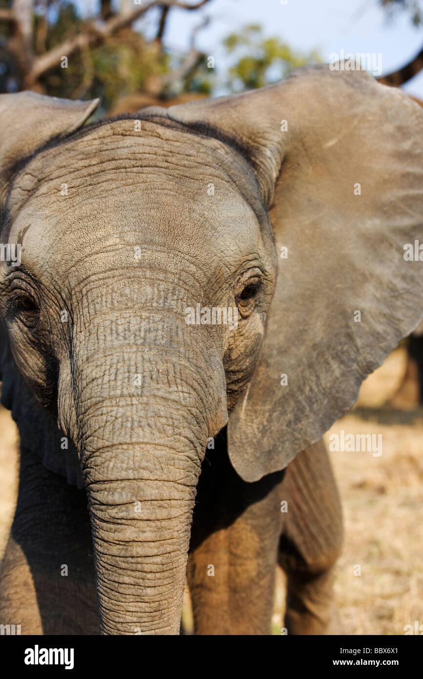 L'éléphant d'Afrique Loxodonta africana jeune veau jouer la charge de l'Afrique du Sud Afrique Photo Stock
