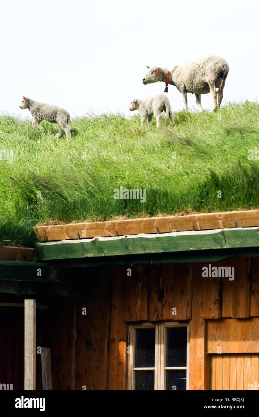 Moutons sur un toit îles Lofoten en Norvège. Photo Stock