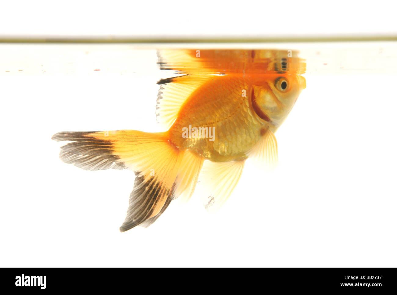 Découpe de poissons rouges fantail studio portrait Photo Stock