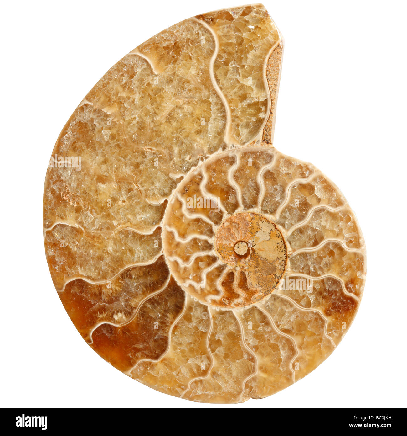 Ammonite fossile - coupe transversale d'un céphalopode Photo Stock