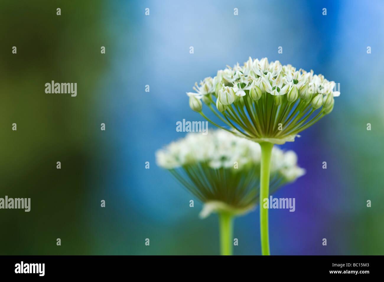 L'allium nigrum. Oignon ornemental / noir fleurs d'ail Photo Stock