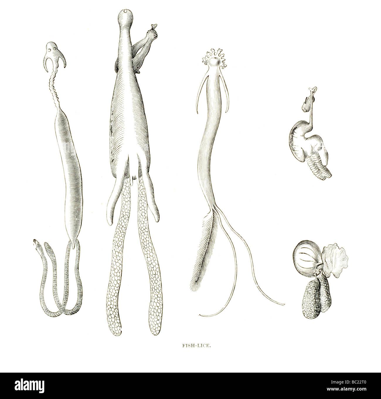 poux de poisson Banque D'Images