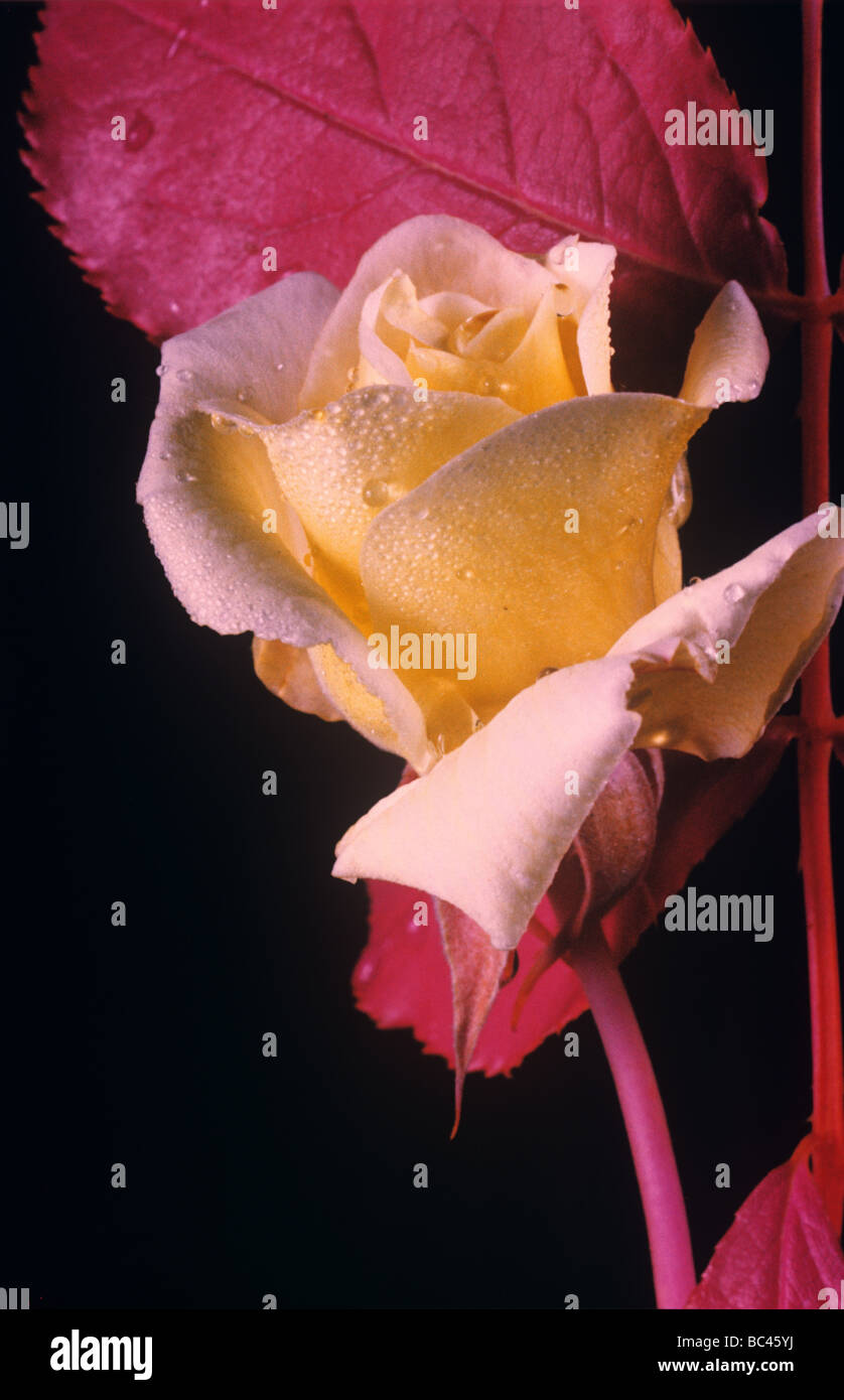 Une rose rouge fleur et feuilles photographié en fausses couleurs film infrarouge utilisé pour la télédétection Photo Stock