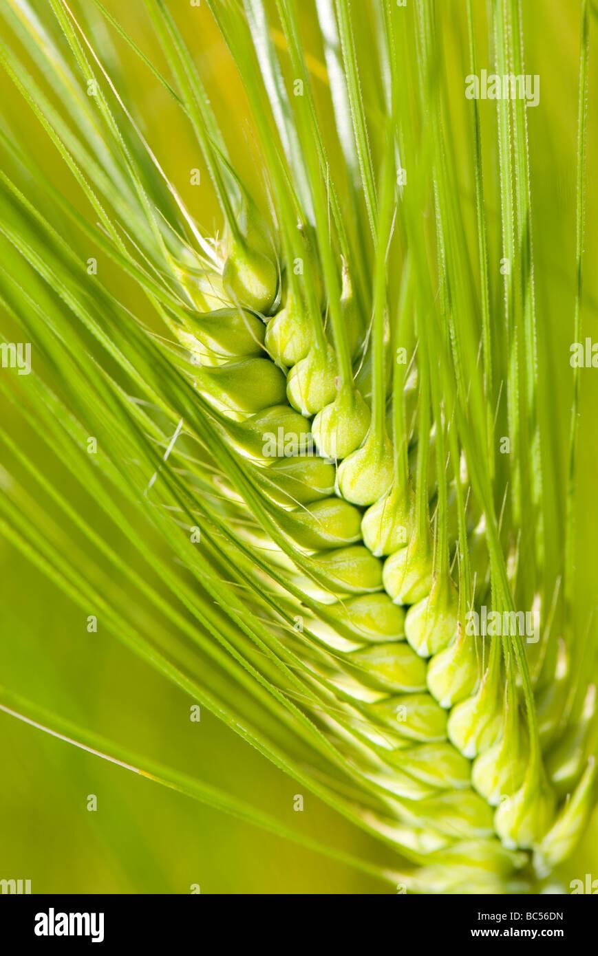 L'orge Hordeum vulgare Photo Stock