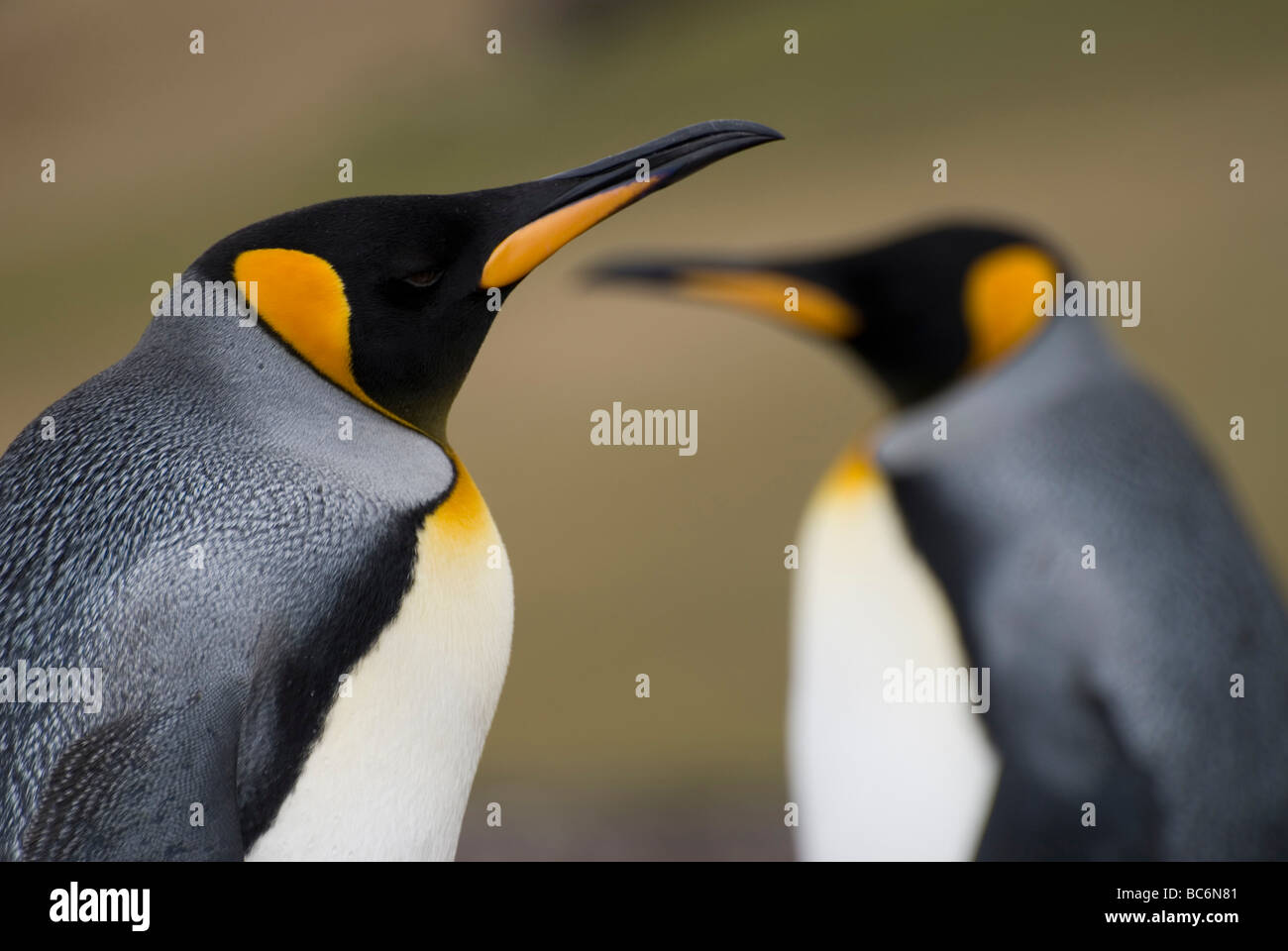 Deux manchots royaux, Aptenodytes patagonicus Banque D'Images