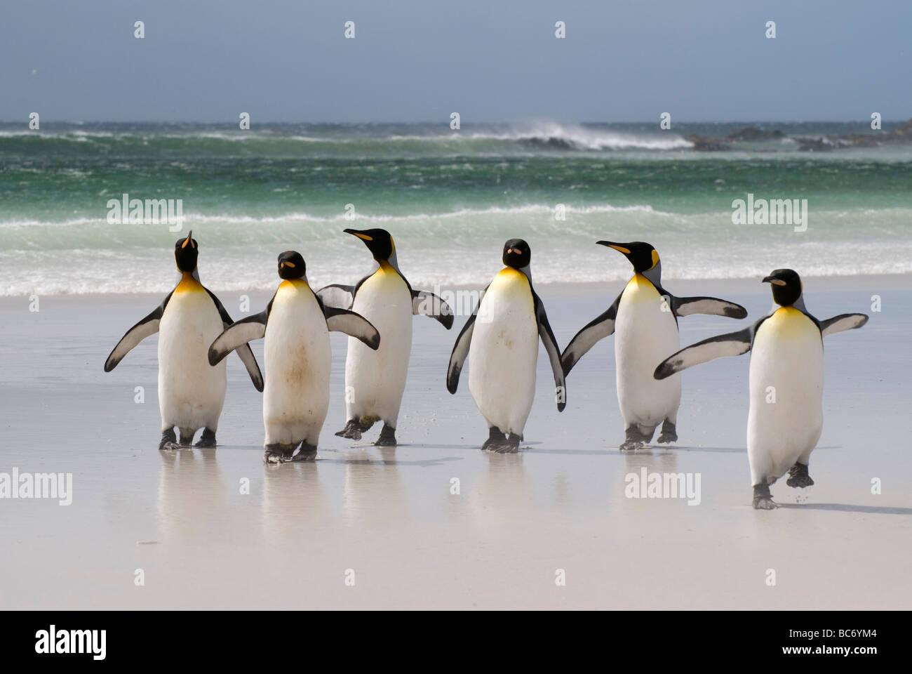 Un groupe de manchots royaux, Aptenodytes patagonicus, marcher sur la plage, de la mer, Banque D'Images