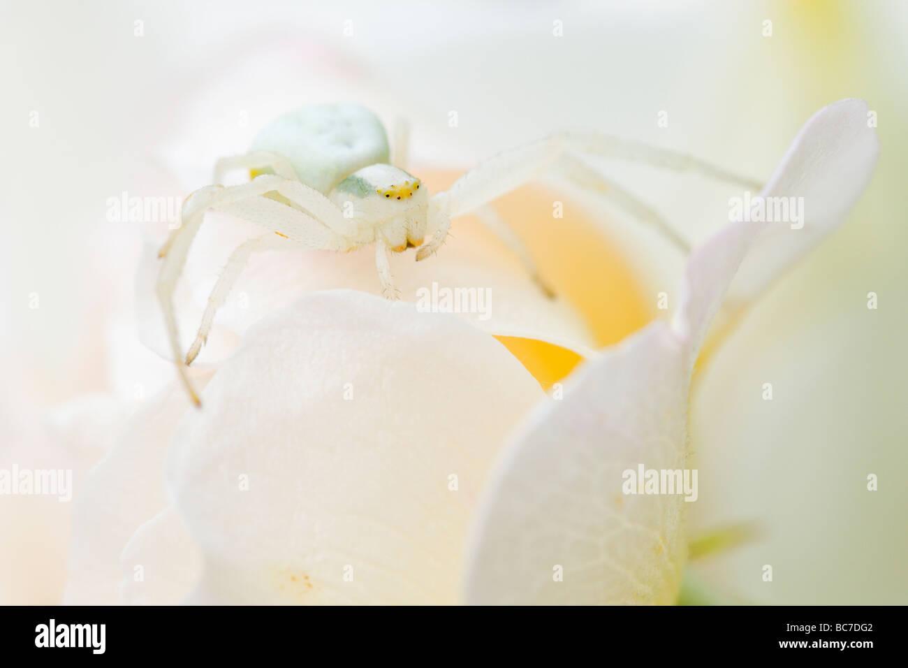 Araignée crabe en attente de proie sur pétales de fleurs Banque D'Images