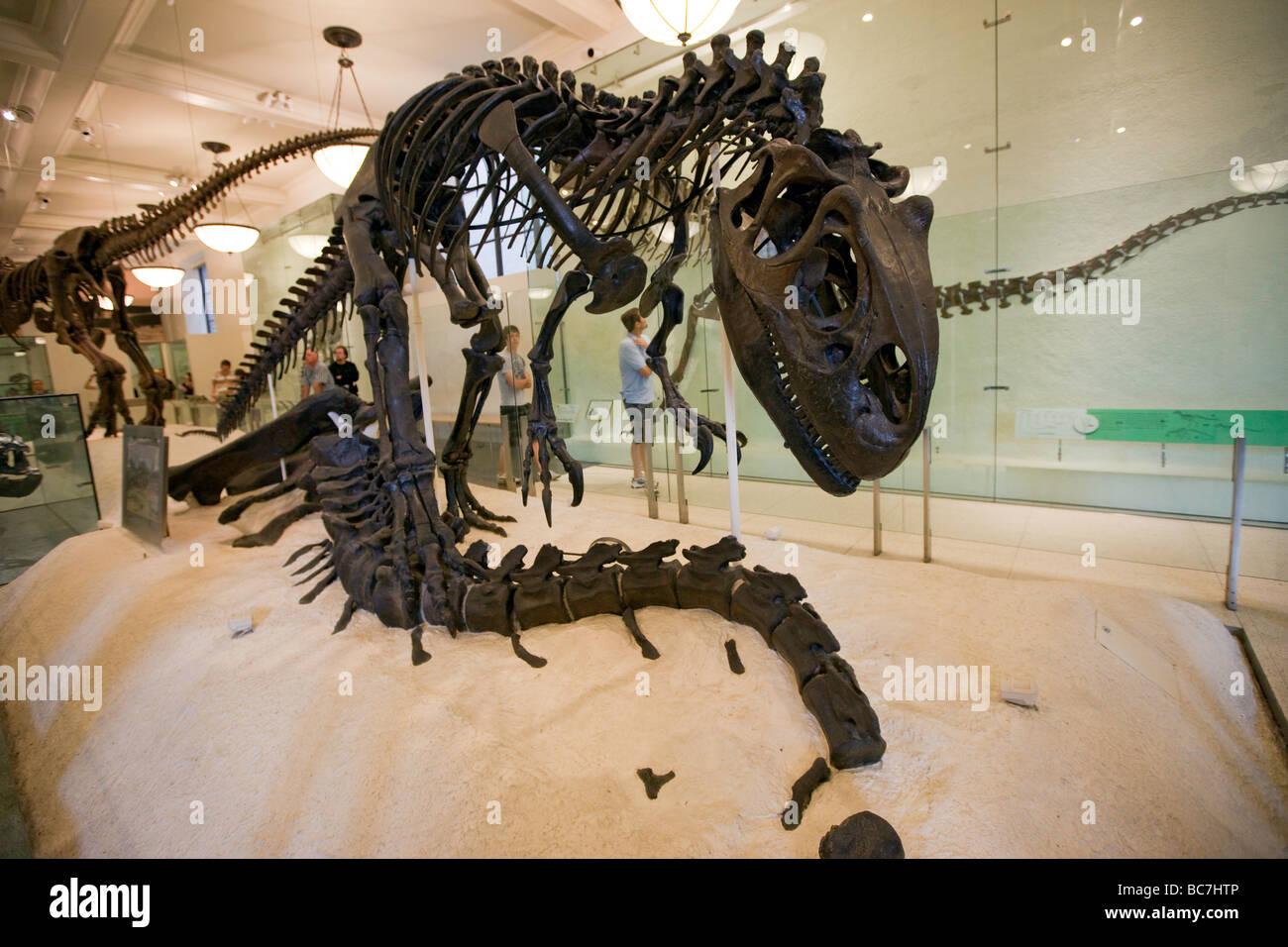 Le dinosaure Allosaurus à Exhibit Museum of Natural History NEW YORK Photo Stock