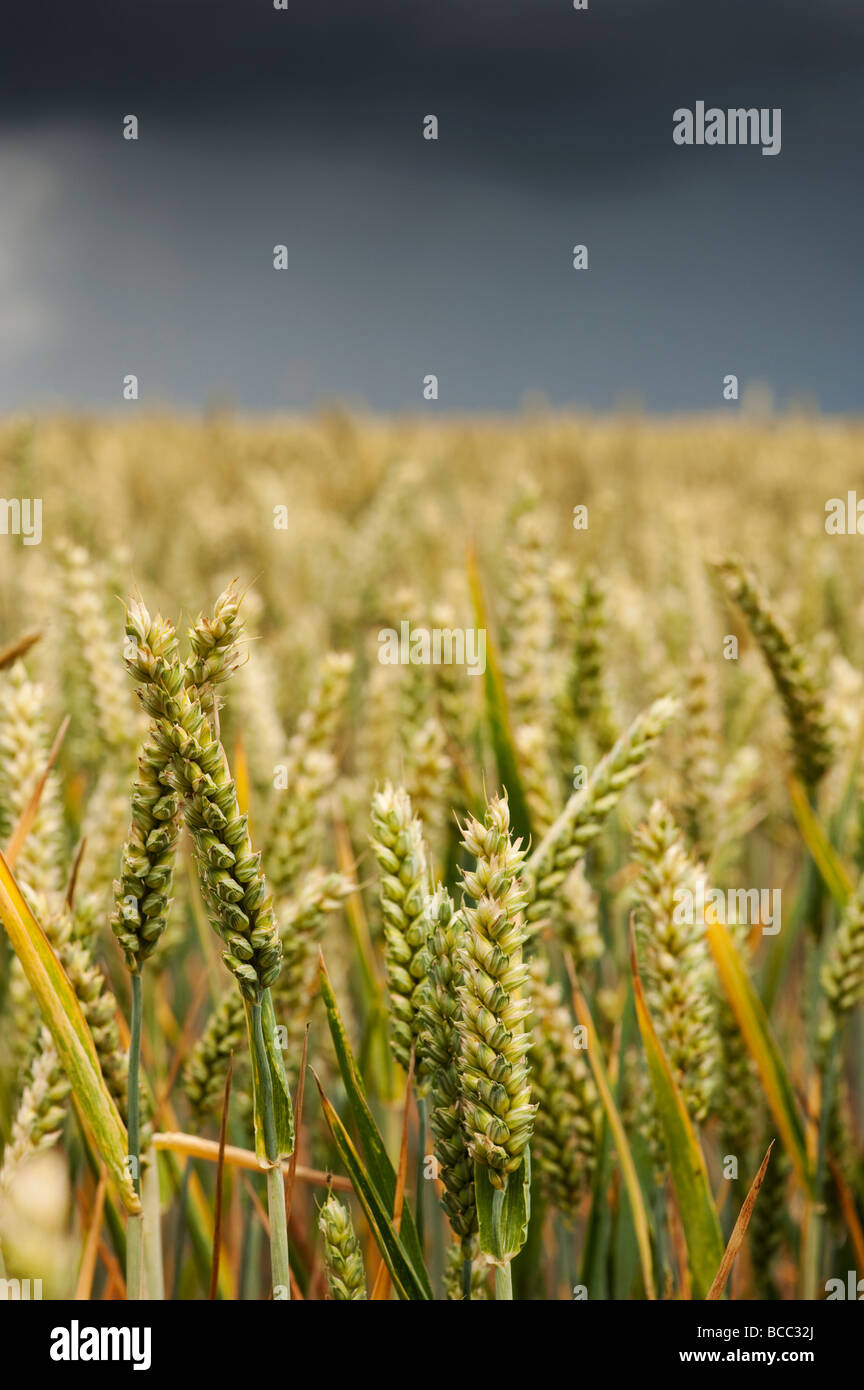 Champ de blé contre un ciel d'orage dans la campagne anglaise Photo Stock