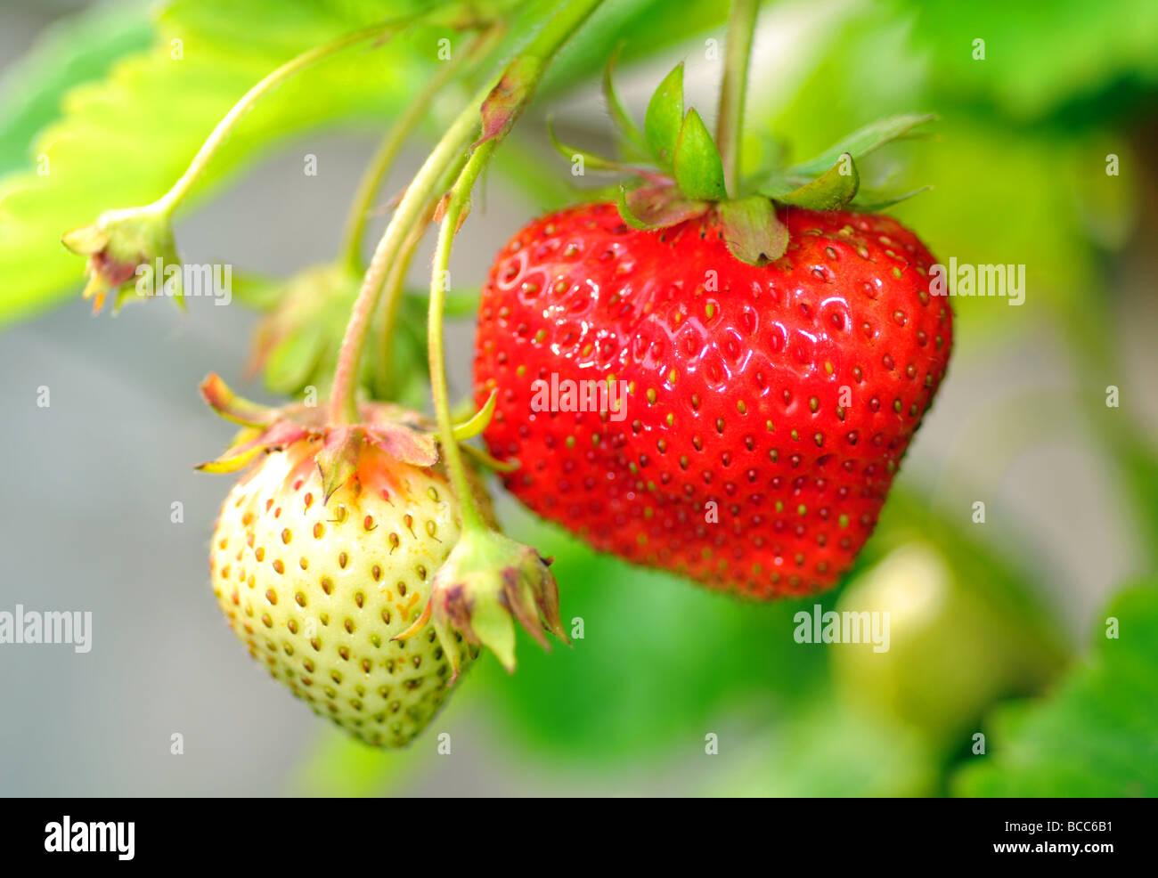 Fraise, fraises Photo Stock