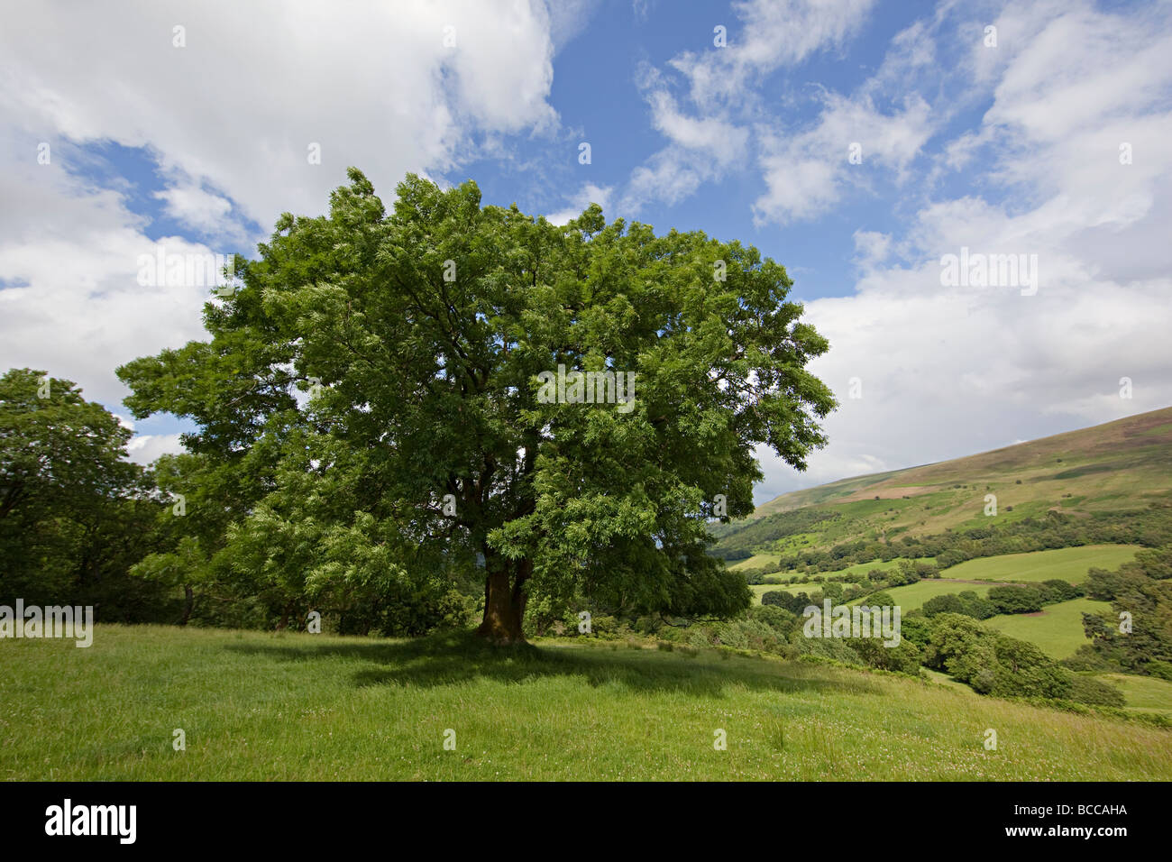 Frêne en campagne parc national de Brecon Beacons au Pays de Galles UK Photo Stock