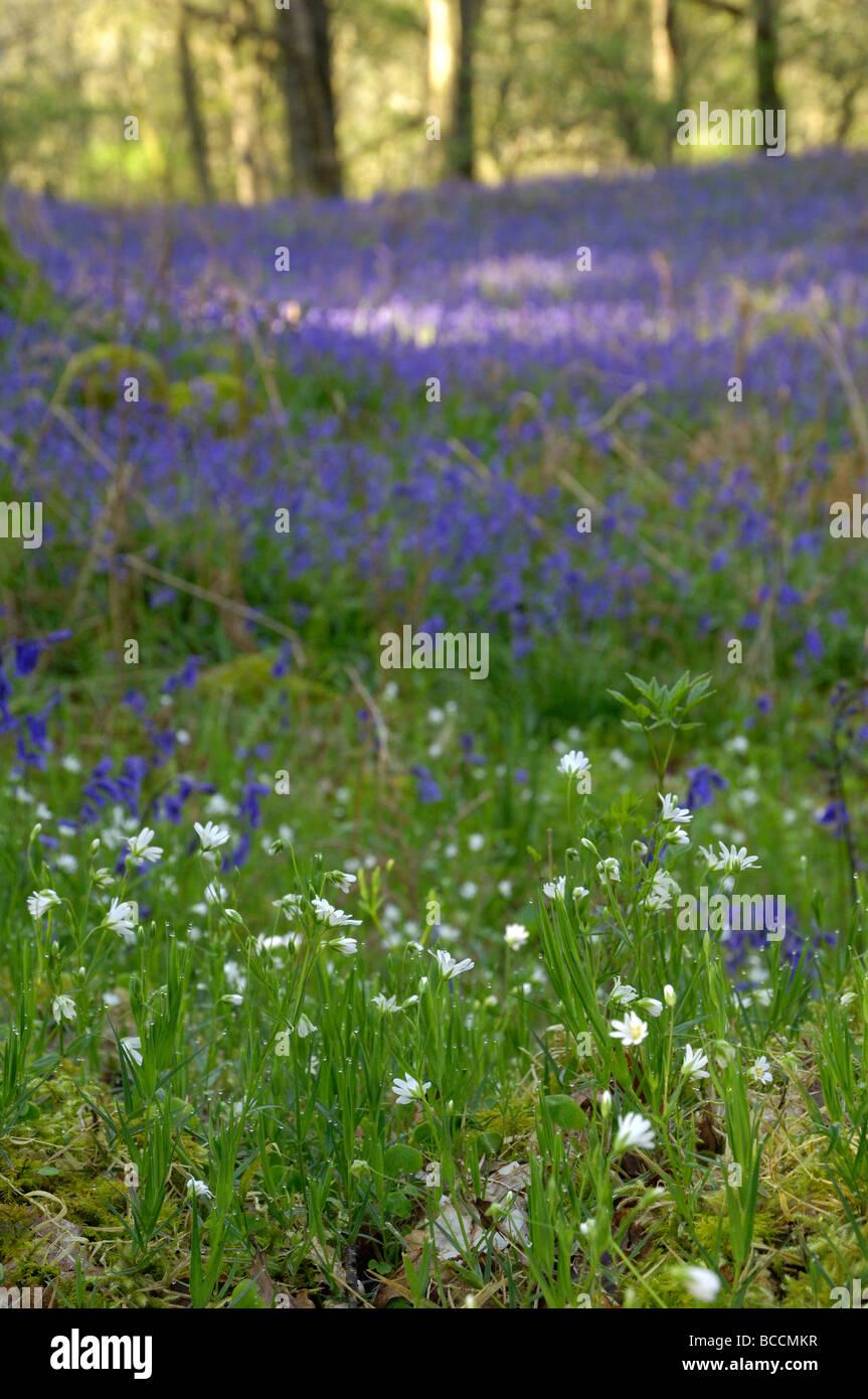 Dans Carstramon jacinthes des bois, Dumfries et Galloway, ÉCOSSE - SHALLOW DOF Photo Stock