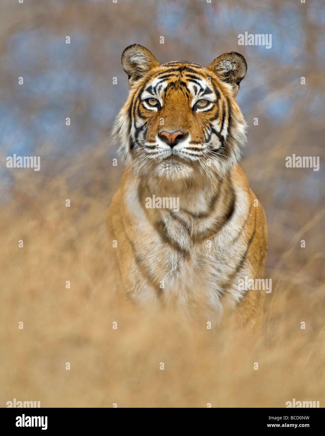 Tigre du Bengale (Panthera tigris tigris) féminin nommé machali. L'Inde Banque D'Images
