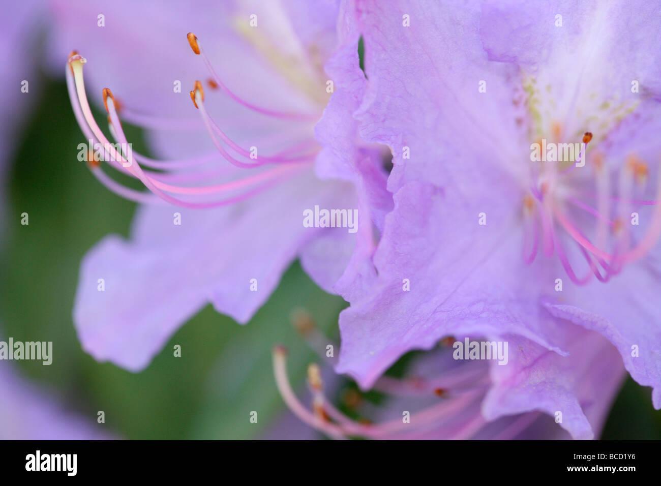 Couleurs douces et éthérées de fleurs d'azalées élégante fine art photography Photo Stock